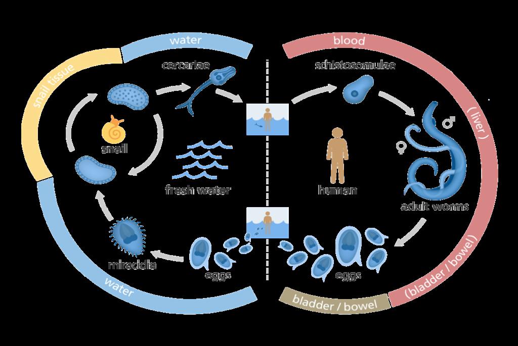 Schistosomiasis vector. Schistosomiasis vector